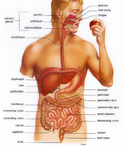 facts about digestive system