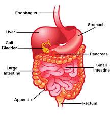 information on digestive system