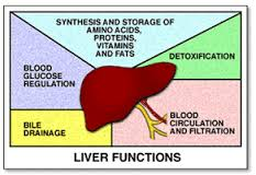 liver function in human body -human liver - my go healthy, Human Body